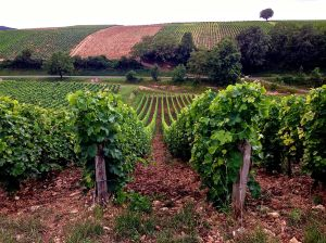 Sancerre Vineyard