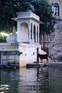 Cows are even hanging out at the City Palace by the lake!