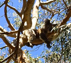 This is a sleepy head Koala bear.