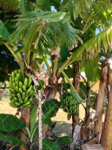 Bananas anyone?