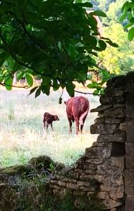 Mother and calf are doing fine! The population of St. Leon-sur-Vezere has just increased by one.