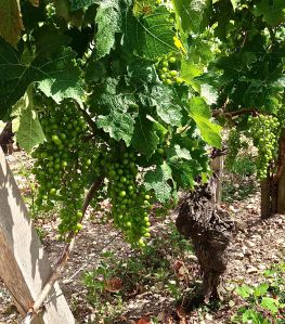 Grapes from Chateau Mouton Rothschild. Don't look any different to us from the last Chateau... uhm...